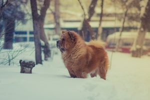Moving your pet to colder climate is not simple in spite of their fur